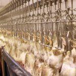 کاهش عرضه مرغ در استان به دلیل محدودیت تامین است