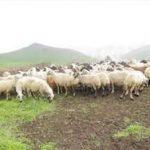 حضور پیش از موعد دام های عشایر در مراتع ییلاقی البرز